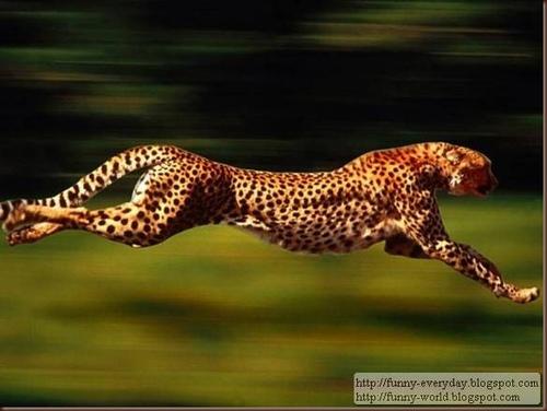 跑得最快的动物: 猎豹